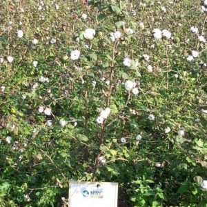 grow plant of cotton