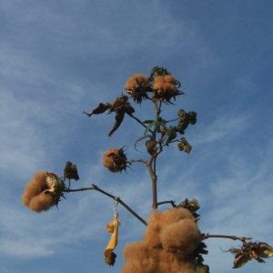 msb brown cotton
