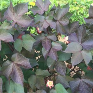 red leaf cotton