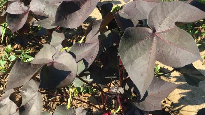 'Red Beauty' Cotton plants make a splash
