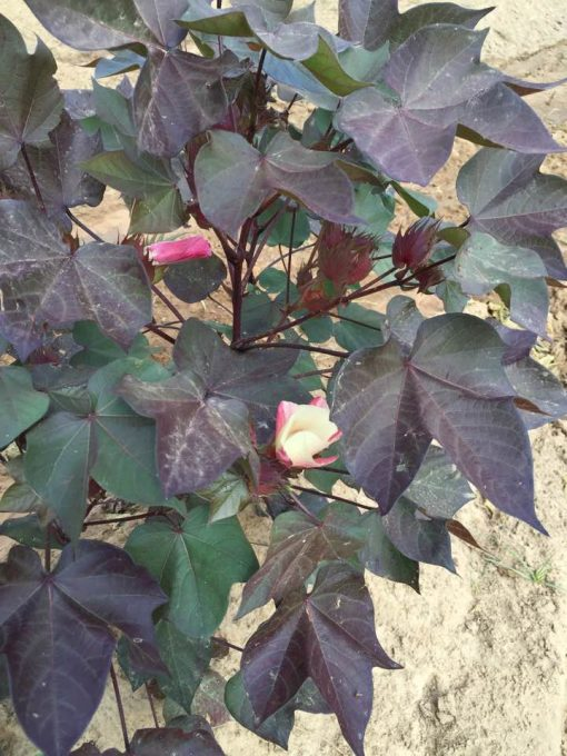 red foliage ornamental plant