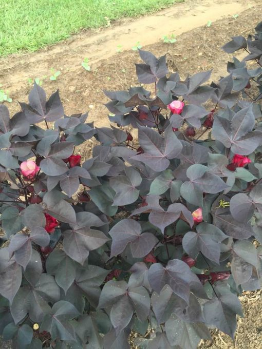 black nigra ornamental cotton plant garden